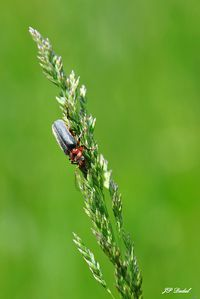 CANTHARIS 01