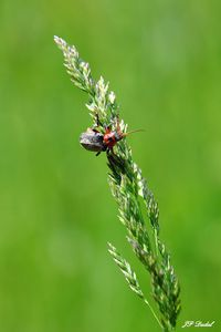 CANTHARIS 02