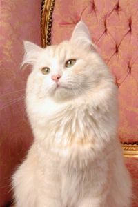 photo4-chatons-siberien-6x1x4x6w314174.jpg
