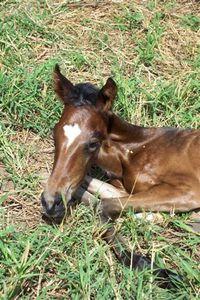 newborn-paso-fino--v--Small-.JPG