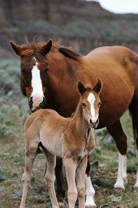 Quarter_Horse_and_foal.jpg