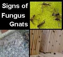 Gnat Infestation In Plants Huge Ants With Wings