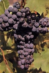 mondeuse-N-raisin.jpg