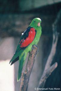 Australie bush Parro