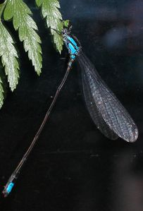 Raivavae Damselfly BigBlue (RE)