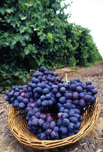 Autumn_Royal_grapes.jpg
