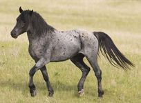 Nokota-horse-stallion-1