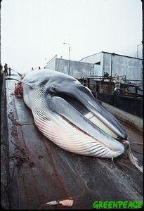 baleine-a-bosse-gisant-sur-son.jpg