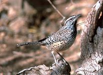 arizona-bird cactus wren