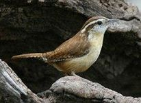 carolina south-bird carolina wren