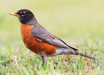 connecticut-bird american robin