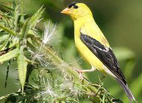 iowa-bird american goldfinch