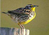 kansas-bird western meadowlark