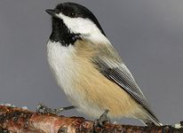 maine-bird black-capped chickadee