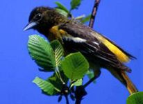 maryland-bird baltimore oriole
