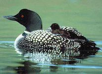 minnesota-bird common loon