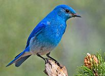 nevada-bird mountain bluebird