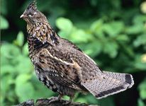 pennsylvania-bird ruffed grouse