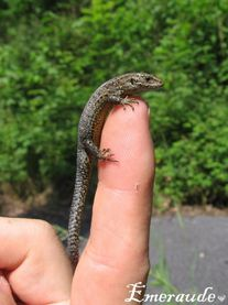 Photo Lézard - 01.06.11