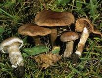 Cortinarius-brunneofulvus.jpg