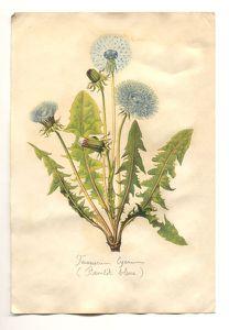 pissenlit-bleue