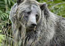 californie grizzly bear usfws2