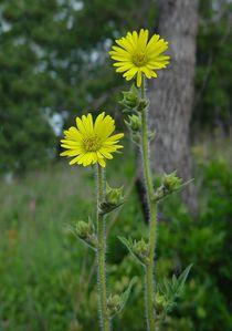 Silphium_laciniatum_plant.jpg