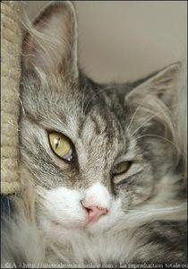 416085-animaux-chats-norvegien.jpg