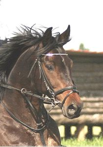 428310-animaux-chevaux-anglo_arabe.jpg