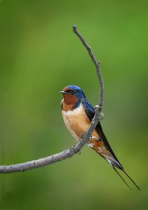 Barn-Swallow.jpg