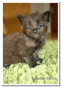 Charming-Maine-Coon-Kitten-out-of-international-matings-229.jpg