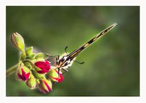 2 Henri Forveille - Machaon