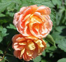 De nouveaux rosiers anglais mis en ligne!