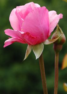 rose rose2