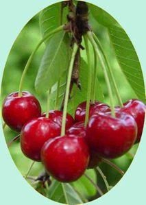 17511-cerisier-bigarreau-reverchon.jpg