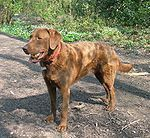 MARYLAND-Chesapeakebayretriever01-l.jpg