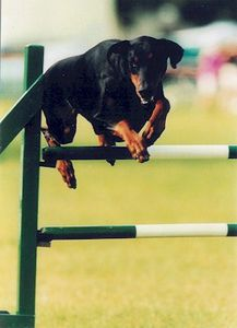 dobermann_jumpinghurdle_breeze_annalderman.jpg
