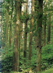 Forêt de cryptomeria japonica1