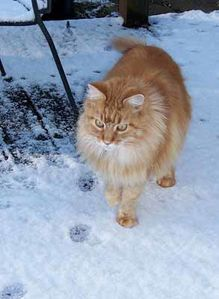 mainecoon-onlynow99.jpg