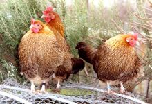 Pictave poules photo G JOUVE
