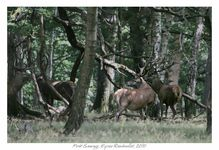 Cerf Foret sauvage espace rambouillet © Olivier Roberjot 0
