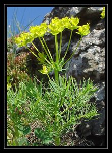 Euphorbia cyparissias3