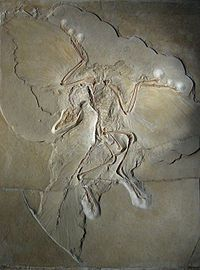 Archaeopteryx 1