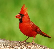 ohio_state_bird_northern_cardinal.jpg