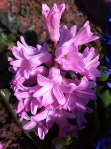 jacynthe rose
