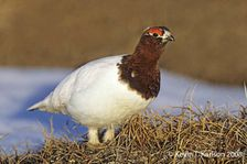 Willow Ptarmigan trans to breeding June AK