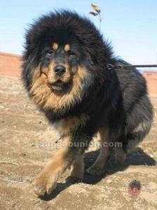 tibet-dog-8-copie-1.jpg