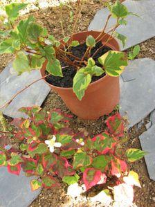 plantes-rougeverte1.JPG