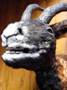 mouflon3