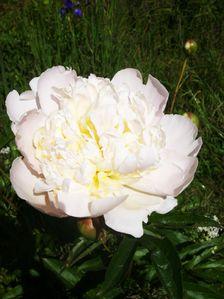 Blumenhartriegel-003.JPG
